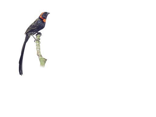 redcollaredwidowbird