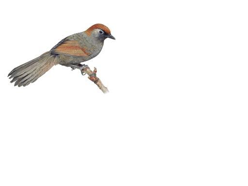 redwingedlaughingthrush