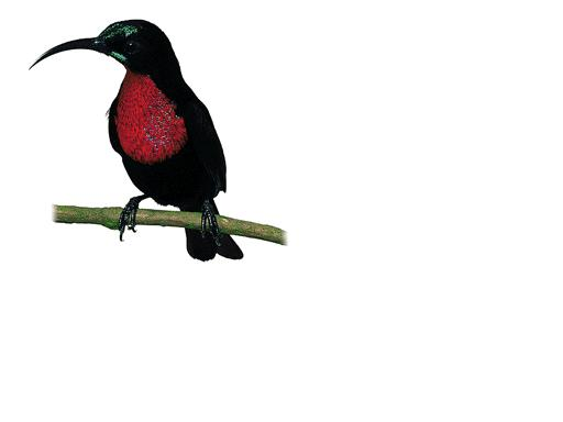 scarletchestedsunbird