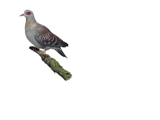 speckledpigeon
