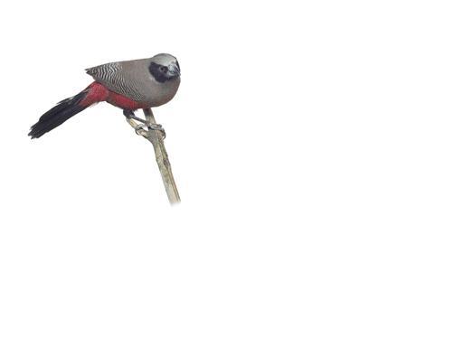 vinousthroatedparrotbill