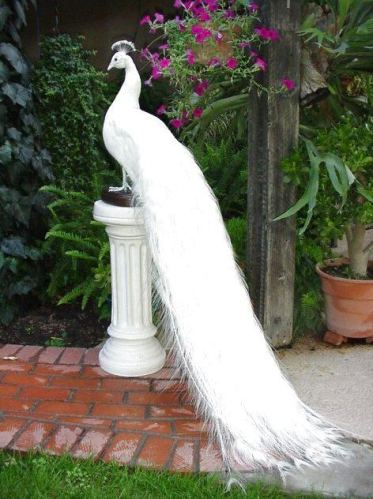 whitePeacock1