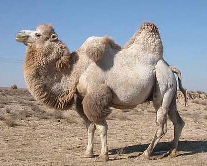 1 bactrian-camel
