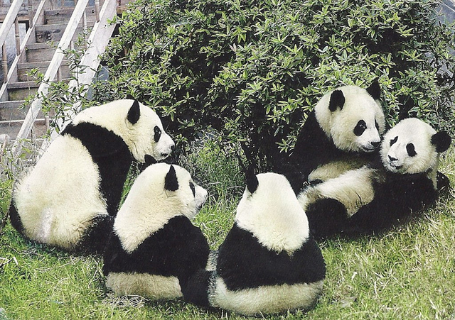 Bears - Panda Bears - Rare Animals of the World