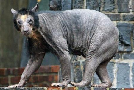 1 hairless bear