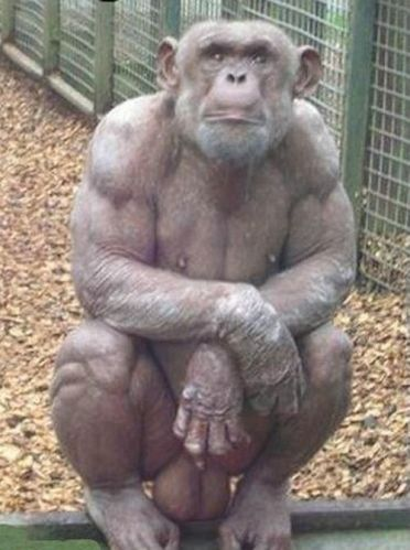 1 hairless chimp will big balls