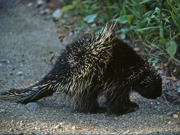 1 porcupine