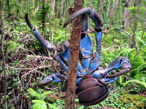 1 rare blue colour crab