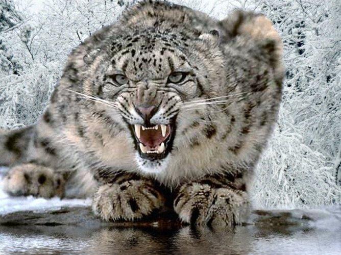 10 rare snow-leopard