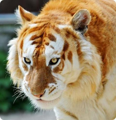 10 rare tiger