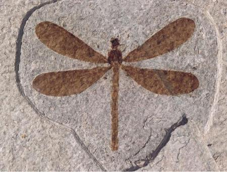 11 fossil dragon fly