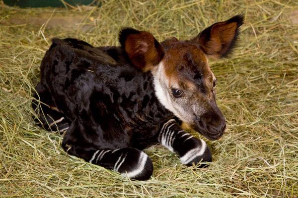 11 okapi