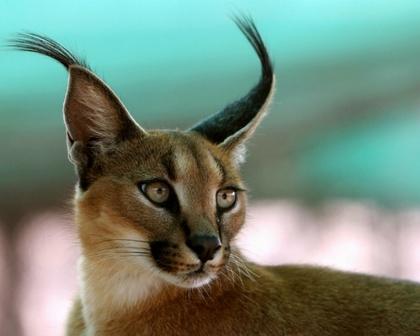 12 rare lynx brush