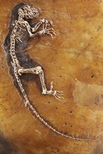 13 Ida-missing-link-fossil