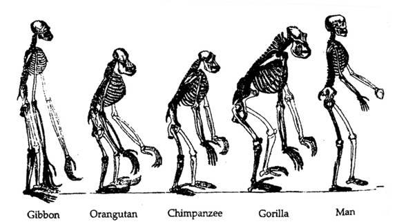 14 various ape skeletons