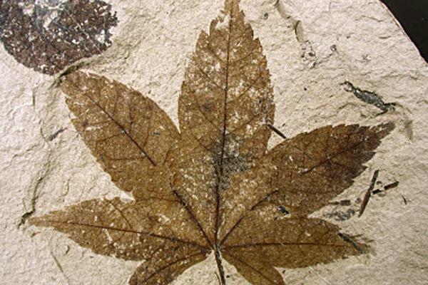 15 Fossil leaf