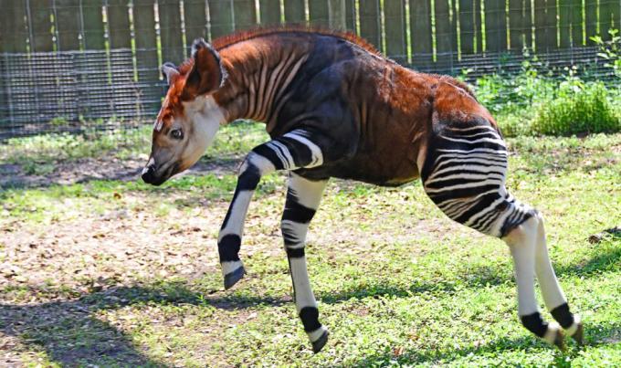17 Okapi r bachcha