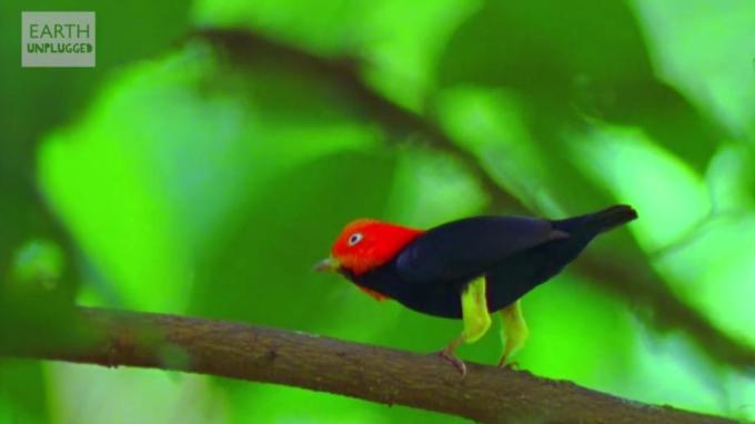 1k Red head bird