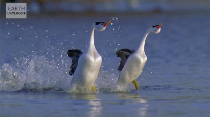 1l Two birds dancing in water in unison