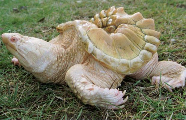 2 albino-turtle