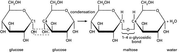 2 Glucose monosaccarides give maltose + water after condensation