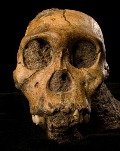 2 skull fossil
