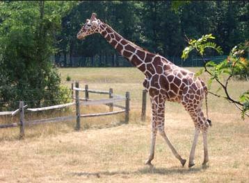 2g Giraffe