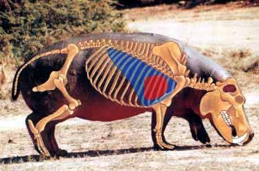 3 Hippopotamous skeleton