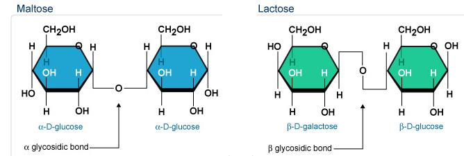 3 Maltose has Alpha and Lactose has beta glycosidic bond