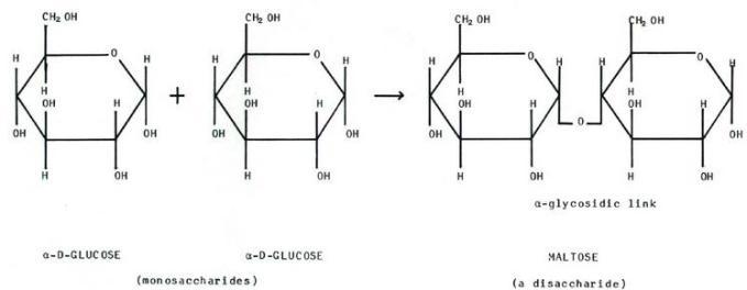 3 Monosaccarides give disaccarides