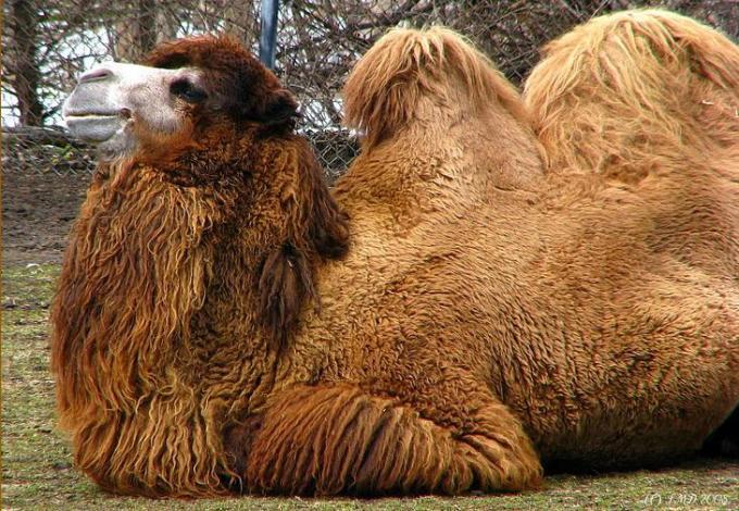 3 Motu camel