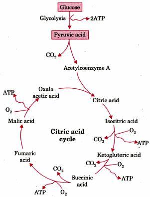 3 Oxidation of Glucose