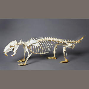 3 porcupine skeleton