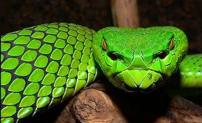 3 wide headed green snake