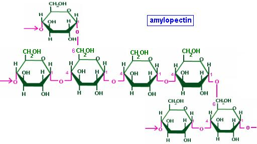 4 Amylopectins have alpha glycosidic linkages