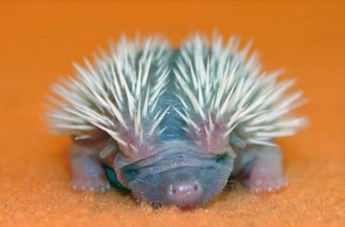 4 baby porcupine