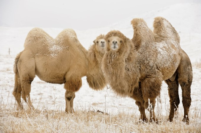 4 Camel couple