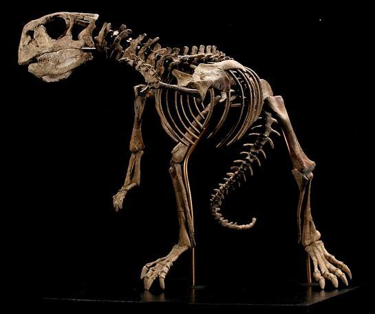 4 Dinosaur skeleton