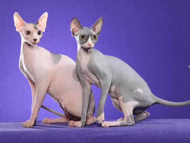 4 hairless cat