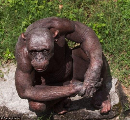 4 hairless chimp