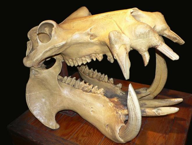 4 Hippopotamous skeleton