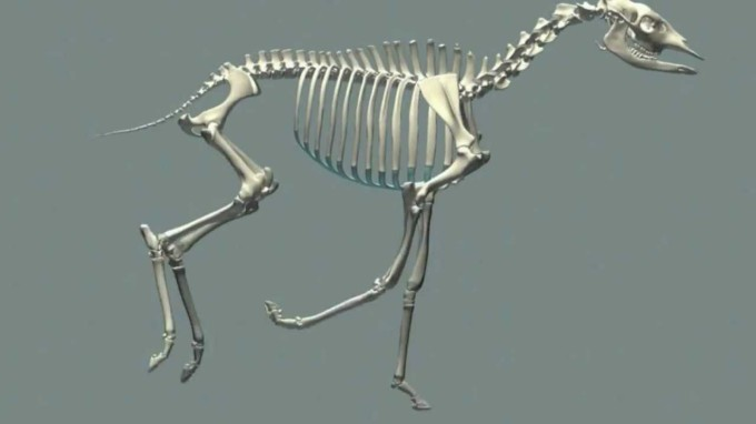 4 Okapi skeleton