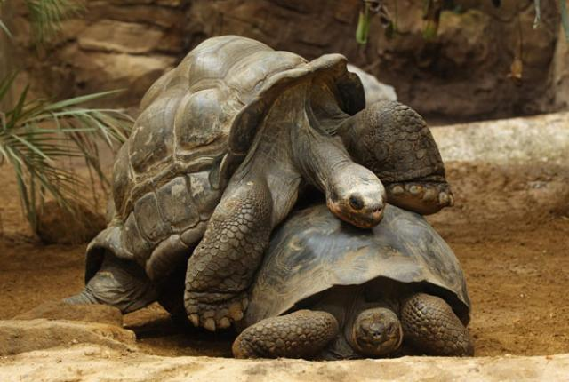 4 Tortoise mating