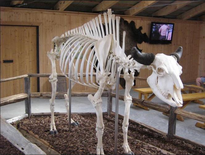 5 Bison skeleton
