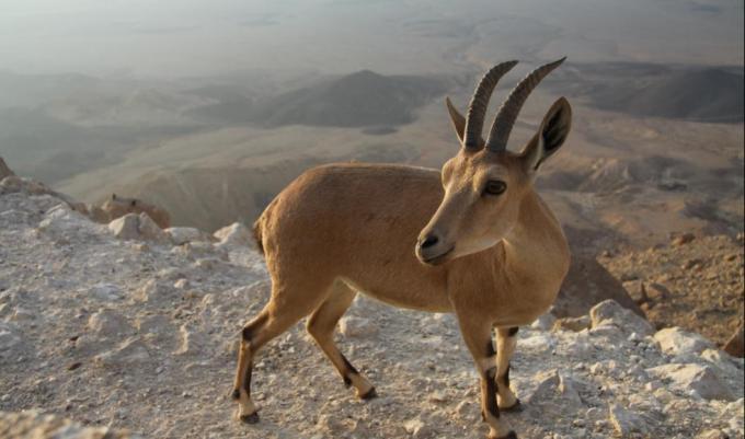 5 capra ibex