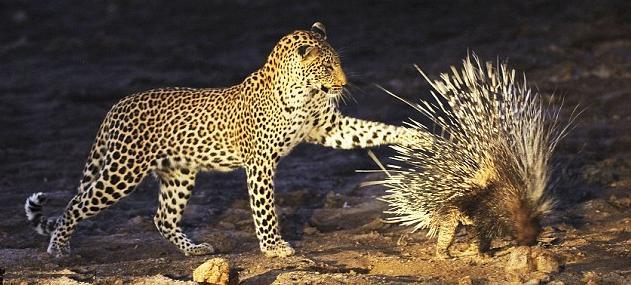5 chita khujli to porcupine