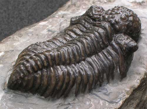 5 fossil poka