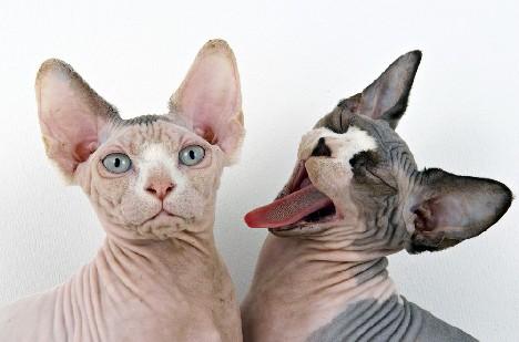 5 hairless cat