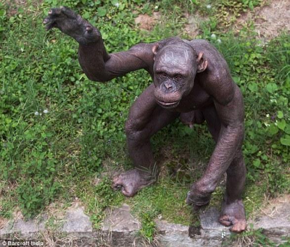 5 hairless chimp