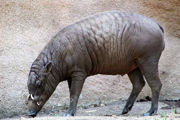 5 hairless Tepir or boar